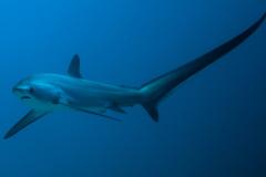 浅海长尾鲨:世界上尾巴最长的鲨鱼(尾巴是体长1.5倍长)