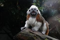 绒顶柽柳猴:一种满头白毛的狨猴(看起来像印第安酋长)
