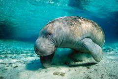儒艮:喜欢在海上哺乳和休息(被古人误认为美人鱼)