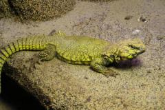撒哈拉刺尾蜥:尾巴上遍布棘状刺(能耐受54度高温)