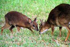 桑岛新小羚:一种体型极小的羚羊(仅4-6公斤重/形似鹿)