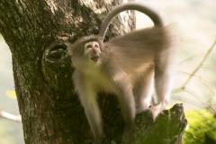 桑杰河白眉猴:带有白色面罩的猴子(尾巴极为细长)