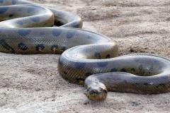 森蚺:世界上最大最重的蛇(最长可达10米以上)