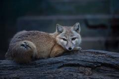 沙狐:一种耐旱的沙漠狐狸(擅长挖洞/喜欢吃鼠类)