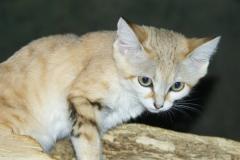 沙漠猫:体型最小的猫科动物之一(能耐受沙漠高温)
