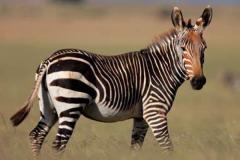 山斑马:体型最小的斑马品种(体长仅2.1米/长有喉袋)