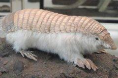 倭犰狳:体型最小的犰狳(仅15厘米/带有粉红色外壳)