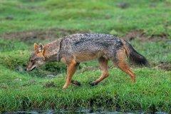 亚洲胡狼:擅长群体狩猎的犬科(成功率可提高3倍)