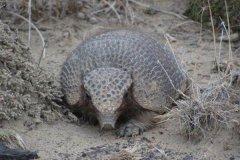 小犰狳:骨甲下长鬃毛的犰狳(体型极小/仅26厘米)