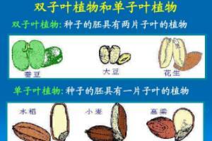 单子叶植物与双子叶植物的区别,胚、根、茎、叶、花各不同