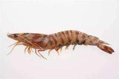 世界上最大的虾 鬼虾(一般米虾体型10倍以上)