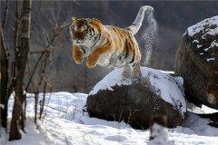 中国最大的食肉动物:东北虎(生性非常凶猛恐怖)