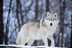 东加拿大狼:身体长度1.7m尾巴48cm长(雌性比雄性重)