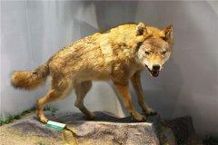 藏狼:又称之为蒙古狼西藏狼(属于灰狼亚种)