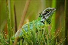 草甸蜥蜴:适合爬行的生物(少数会出现四肢退化)