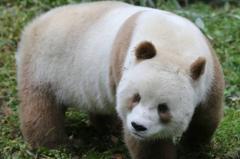 棕色大熊猫七仔在哪里?在秦岭,国宝中的国宝(有望当爹)