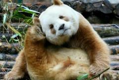 熊猫七仔为什么是棕色的?四大原因,返祖现象(隐形基因)
