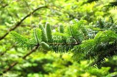 世界上已灭绝的植物:远古工蕨,百山祖冷杉(5株快灭绝)