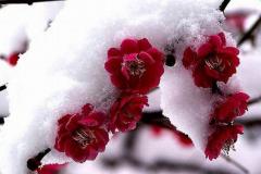 冬天不怕冷的植物有哪些?梅花第一,青松苍劲(菊花耐寒)
