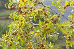 枣子种类大全:冬枣脆甜爽口,壶瓶枣地理标志(百果之首)