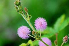 世界上最害羞的植物:含羞草,一碰就闭合(罕见的感知性)