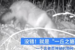 杭州拍到一丘之貉中的貉:古老犬科动物,深夜觅食过冬