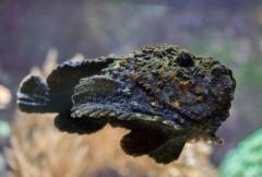 最危险的海洋生物:石头鱼擅伪装,扳机鱼攻击强(毒性高)