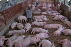世界上哪里猪多?中国,养殖猪3亿多头(食物需求大国)
