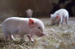 世界上最小的猪:微型猪,重10公斤像西瓜(一类保护动物)