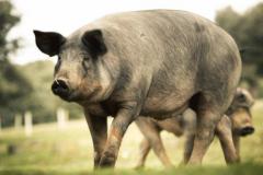 世界上最好的猪品种:伊比利亚黑猪,橡果培育(火腿3.1万)