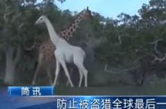 全球最后一只白色长颈鹿:装有追踪设备,2只已被猎杀