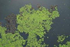 世界上最小的花:芜萍,直径小于1.5mm(1平方米1百万个)