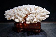 珊瑚石为什么不能放家:摆凶位破财,放在财位(放干燥处)