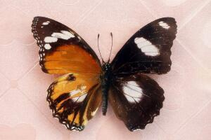 卡申夫鬼美人凤蝶,雌雄同体的阴阳蝶(价值160万)