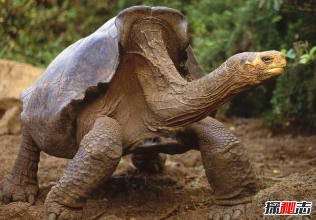 史前最大的海龟