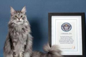 世界上最大的猫排行榜,缅因猫夺冠被封温柔的巨人