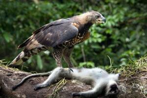 现今地球上最大的鹰,菲律宾食猿雕(翼展2.5米专杀猿猴)