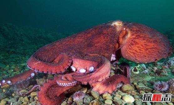 世界上最大的章鱼有多大|世界上最大的章鱼,北太平洋巨型章鱼(554斤/9.8米)