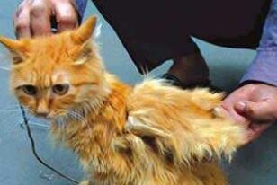 神秘物种天使猫,长有翅膀还会飞的未知生物(飞猫)
