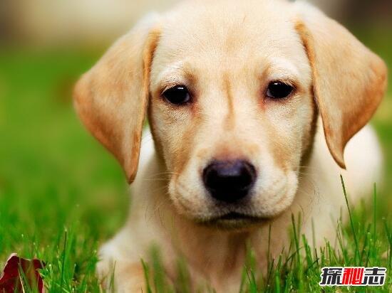 狗真的起源于亚洲狼吗图片