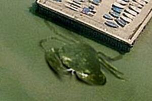 揭秘英国岸边神秘的巨型螃蟹,照片为PS(网友恶搞)