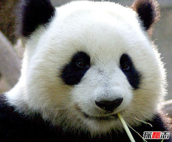 熊猫有趣的地方在哪里?一天大便40次,2/3时间进食