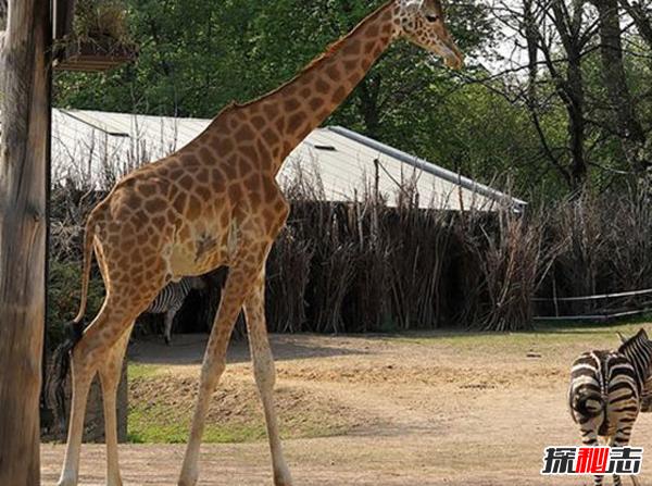 长颈鹿濒临灭绝了吗?长颈鹿生活在什么地方