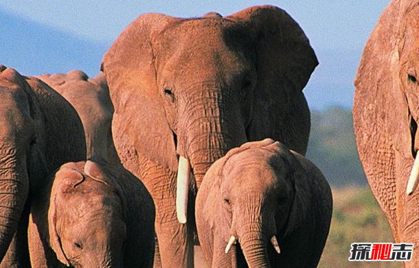 大象能听到地(di)震?關于大象的12大有趣之處(chu)
