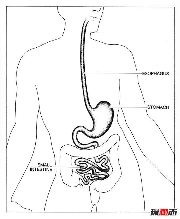 消化系统有什么功能?消化系统12大有趣的事实
