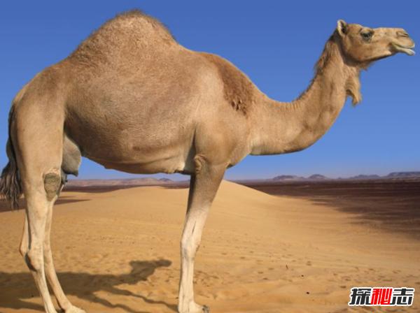 骆驼的驼峰有什么作用?骆驼的十大特点和作用