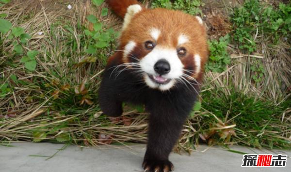 小熊猫是大熊猫生的吗?小熊猫的十大特点和生活特征