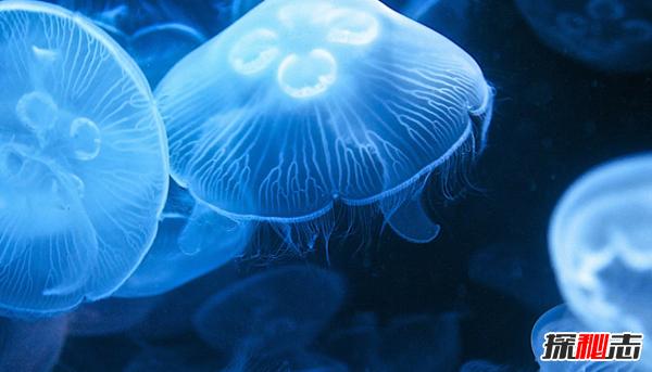 水母可以离开水吗?水母的十大特点和特征