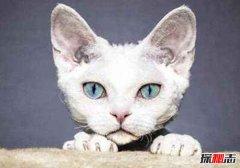 血统最高贵的猫:德文莱克斯猫大耳朵超萌(酷似精灵)