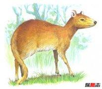 世界上最小的鹿:鼷鹿可爱迷人可当宠物养(55厘米长)